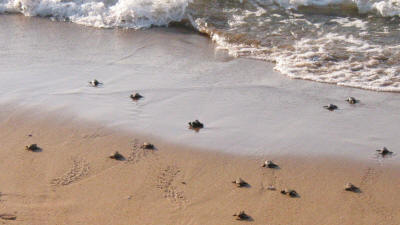 Green turtles rushing for the sea at Alagadi beach, North Cyprus