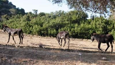 Wild donkeys in the Karpaz National Park